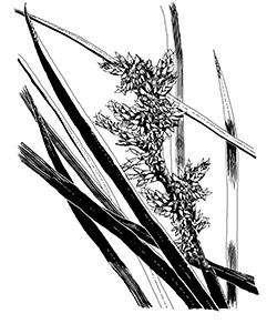 coastal sword sedge