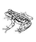 The story of the Motorbike Frog