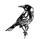The story of the New Holland Honey Eater
