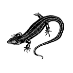The story of the King Skink