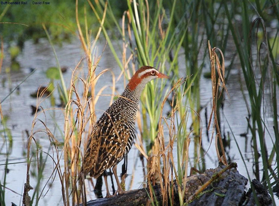 Buff-Banded Rail, by David Free