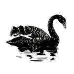 The story of the Black Swan