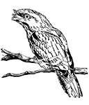 The story of the Tawny Frogmouth
